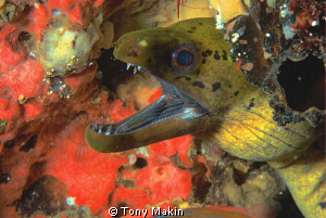 Moray eel by Tony Makin 